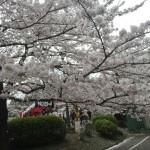 【大宮公園】超さいたま人の家族でお花見してきたの巻 夜桜編
