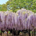 【加須市】玉敷公園&玉敷神社へ県指定天然記念物の大藤を見に行こう!