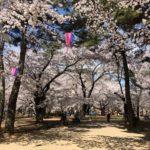 桜満開!大宮公園でお花見2019 駐車場は第二・第三公園が無料